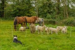 αγροτικό τοπίο ζώων καλοκαίρι πολλών sheeeps στοκ εικόνα