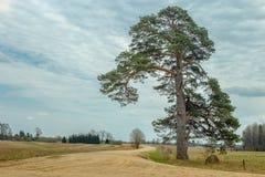 Αγροτικό τοπίο με έναν δρόμο επαρχίας, μόνο παλαιό πεύκο Στοκ Φωτογραφίες