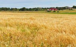 Αγροτικό τοπίο με την κομμένη σίκαλη στοκ εικόνες