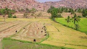 Αγροτικό τοπίο με τη βοσκή των βοοειδών φιλμ μικρού μήκους