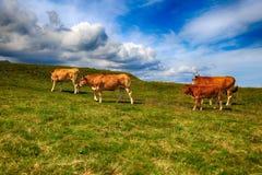 Αγροτικό τοπίο με το κοπάδι αγελάδων Στοκ Εικόνες