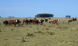 Αγροτικό ladscape με τις αγελάδες Στοκ Εικόνες