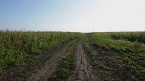 Αγροτικό lanscape - καλαμπόκι fielads στην καυτή θερινή ημέρα φιλμ μικρού μήκους