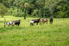 Αγροτικό montain pecuaria Βραζιλία βοοειδών Στοκ Φωτογραφία