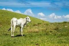 Αγροτικό montain pecuaria Βραζιλία βοοειδών στοκ φωτογραφίες