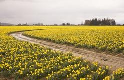 αγρόκτημα άνθισης daffodiil Στοκ Φωτογραφίες