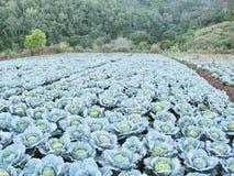Αγρόκτημα λάχανων στην κορυφή βουνών Στοκ Εικόνα