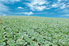 Αγρόκτημα λάχανων στην Ταϊλάνδη Στοκ φωτογραφία με δικαίωμα ελεύθερης χρήσης