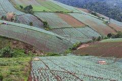 Αγρόκτημα λάχανων στο βερκέλιο σκαφών Phu Στοκ φωτογραφίες με δικαίωμα ελεύθερης χρήσης