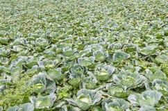 Αγρόκτημα λάχανων στο βουνό Στοκ Φωτογραφίες