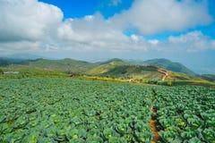 Αγρόκτημα λάχανων, Ταϊλάνδη Στοκ εικόνες με δικαίωμα ελεύθερης χρήσης