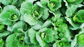 Αγρόκτημα λάχανων Στοκ εικόνες με δικαίωμα ελεύθερης χρήσης