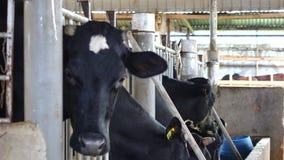 Αγρόκτημα αγελάδων γάλακτος Don Duong στην περιοχή, πόλη DA Lat, επαρχία ήχων καμπάνας Lam, Βιετνάμ απόθεμα βίντεο