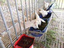 Αγρόκτημα αιγών Στοκ Φωτογραφίες