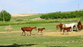 Αγρόκτημα αλόγων πολλά άλογα που βόσκουν στο αγρόκτημα απόθεμα βίντεο