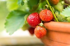 αγρόκτημα αναπτύσσοντας δικοί φράουλες επιλογών σας Στοκ εικόνες με δικαίωμα ελεύθερης χρήσης