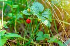 αγρόκτημα αναπτύσσοντας δικοί φράουλες επιλογών σας Στοκ φωτογραφία με δικαίωμα ελεύθερης χρήσης