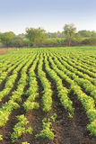 Αγρόκτημα αραβικών φιστικιών στοκ εικόνα