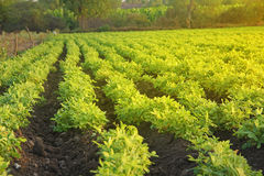 Αγρόκτημα αραβικών φιστικιών Στοκ φωτογραφία με δικαίωμα ελεύθερης χρήσης