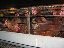 Αγρόκτημα αυγών Στοκ Εικόνα