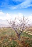 Αγρόκτημα βερίκοκων κατά τη διάρκεια της sping εποχής ενάντια στη σειρά βουνών Vayk, επαρχία Vayots Dzor στοκ φωτογραφίες με δικαίωμα ελεύθερης χρήσης