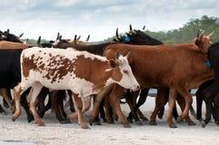 αγρόκτημα βοοειδών Στοκ εικόνα με δικαίωμα ελεύθερης χρήσης