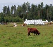 Αγρόκτημα βοοειδών ορεινών περιοχών Στοκ Εικόνες