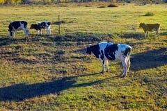αγρόκτημα γάλακτος αγε&lamb Στοκ Εικόνα