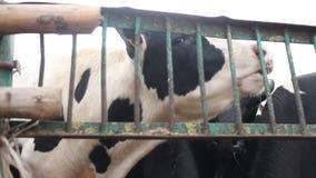 Αγρόκτημα για τους αυξανόμενους ταύρους φιλμ μικρού μήκους