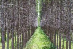 Αγρόκτημα ευκαλύπτων Στοκ εικόνα με δικαίωμα ελεύθερης χρήσης