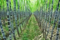 Αγρόκτημα ζαχαροκάλαμων στοκ εικόνα