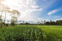 Αγρόκτημα και δέντρο καλαμποκιού στοκ εικόνες