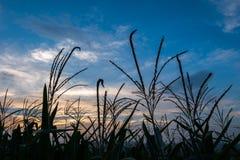Αγρόκτημα και μπλε ουρανός λιβαδιών τομέων καλαμποκιού σκιαγραφιών στο λυκόφως Στοκ Φωτογραφία