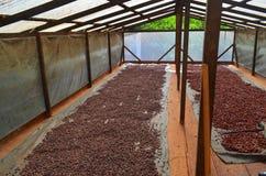Αγρόκτημα κακάου, Στοκ φωτογραφία με δικαίωμα ελεύθερης χρήσης