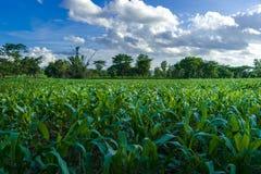 Αγρόκτημα καλαμποκιού και σαφής μπλε ουρανός στοκ φωτογραφίες με δικαίωμα ελεύθερης χρήσης