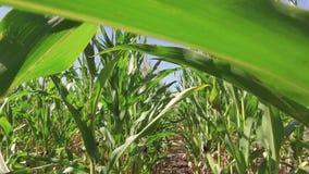 Αγρόκτημα καλαμποκιού καλλιέργειας τομέων καλαμποκιού steadicam πράσινη γεωργία Ηνωμένες Πολιτείες χλόης το τηλεοπτικό αγρόκτημα  Στοκ φωτογραφίες με δικαίωμα ελεύθερης χρήσης