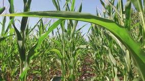 Αγρόκτημα καλαμποκιού καλλιέργειας τομέων καλαμποκιού steadicam πράσινη γεωργία Ηνωμένες Πολιτείες χλόης το τηλεοπτικό αγρόκτημα  Στοκ φωτογραφία με δικαίωμα ελεύθερης χρήσης