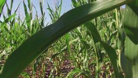 Αγρόκτημα καλαμποκιού καλλιέργειας τομέων καλαμποκιού steadicam πράσινη γεωργία Ηνωμένες Πολιτείες χλόης το τηλεοπτικό αγρόκτημα  Στοκ Εικόνες