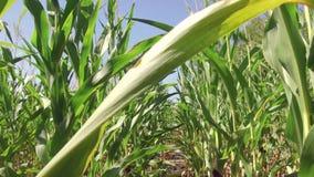 Αγρόκτημα καλαμποκιού καλλιέργειας τομέων καλαμποκιού steadicam πράσινη γεωργία Ηνωμένες Πολιτείες χλόης το τηλεοπτικό αγρόκτημα  Στοκ εικόνα με δικαίωμα ελεύθερης χρήσης