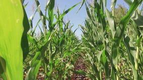 Αγρόκτημα καλαμποκιού καλλιέργειας τομέων καλαμποκιού steadicam πράσινη γεωργία Ηνωμένες Πολιτείες χλόης το τηλεοπτικό αγρόκτημα  Στοκ εικόνες με δικαίωμα ελεύθερης χρήσης