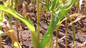 Αγρόκτημα καλαμποκιού τομέων καλαμποκιού steadicam που καλλιεργεί πράσινη γεωργία Ηνωμένες Πολιτείες χλόης η αγροτική κίνηση αμερ Στοκ φωτογραφία με δικαίωμα ελεύθερης χρήσης