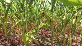 Αγρόκτημα καλαμποκιού τομέων καλαμποκιού steadicam πράσινη γεωργία Ηνωμένες Πολιτείες χλόης το τηλεοπτικό αγρόκτημα καλαμποκιού κ Στοκ φωτογραφία με δικαίωμα ελεύθερης χρήσης