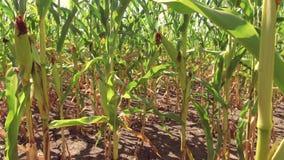 Αγρόκτημα καλαμποκιού τομέων καλαμποκιού steadicam πράσινη γεωργία Ηνωμένες Πολιτείες χλόης το τηλεοπτικό αγρόκτημα καλαμποκιού κ Στοκ εικόνα με δικαίωμα ελεύθερης χρήσης
