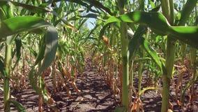 Αγρόκτημα καλαμποκιού τομέων καλαμποκιού steadicam Πράσινη γεωργία Ηνωμένες Πολιτείες χλόης καλλιέργειας το τηλεοπτικό αγρόκτημα  Στοκ Εικόνα