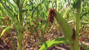 Αγρόκτημα καλαμποκιού τομέων καλαμποκιού steadicam πράσινη γεωργία Ηνωμένες Πολιτείες χλόης το τηλεοπτικό αγρόκτημα καλαμποκιού κ Στοκ Φωτογραφία