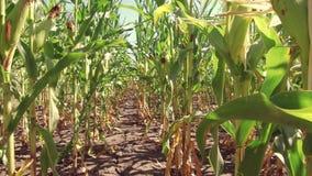 Αγρόκτημα καλαμποκιού τομέων καλαμποκιού steadicam πράσινη γεωργία Ηνωμένες Πολιτείες χλόης το τηλεοπτικό αγρόκτημα καλλιέργειας  Στοκ Φωτογραφίες