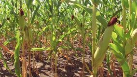 Αγρόκτημα καλαμποκιού τομέων καλαμποκιού steadicam πράσινη γεωργία Ηνωμένες Πολιτείες χλόης το τηλεοπτικό αγρόκτημα καλαμποκιού κ Στοκ Εικόνες