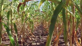 Αγρόκτημα καλαμποκιού τομέων καλαμποκιού steadicam Πράσινη γεωργία Ηνωμένες Πολιτείες χλόης καλλιέργειας το τηλεοπτικό αγρόκτημα  Στοκ Εικόνες