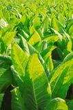 Αγρόκτημα καπνών στοκ εικόνα με δικαίωμα ελεύθερης χρήσης