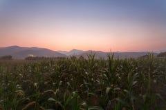 Αγρόκτημα καλαμποκιού Στοκ Εικόνα